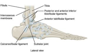 LAteral view of an Ankle's anatomy