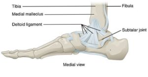 Medial View of an Ankle's anatomy